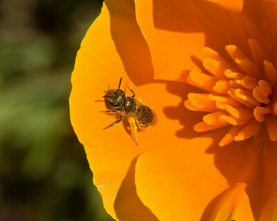 Tiny Bee on Poppy 8530a